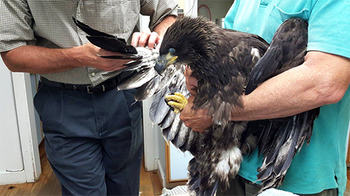 Craig Newan, OFES founder and Dr. Dan Hamet of Richmond Animal Hospital examine the eaglet's injured right wing. Photo courtesy of Richmond Animal Hospital